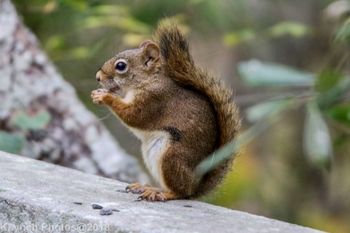 Red Squirrel_1