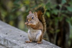 Red Squirrel_14