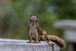 Red Squirrel_18