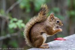 Red Squirrel_22