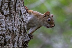 Red Squirrel_23