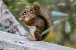 Red Squirrel_3