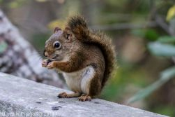 Red Squirrel_5
