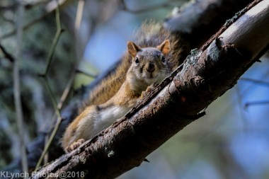 Red Squirrels_1