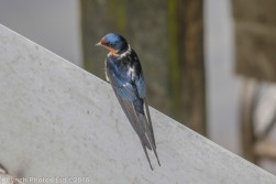 swallow_4