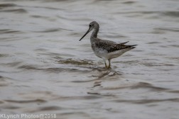 Yellowlegs_10