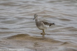 Yellowlegs_11