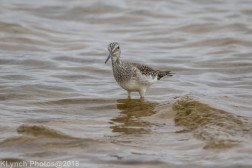 Yellowlegs_12