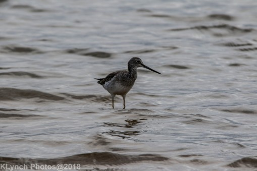 Yellowlegs_4