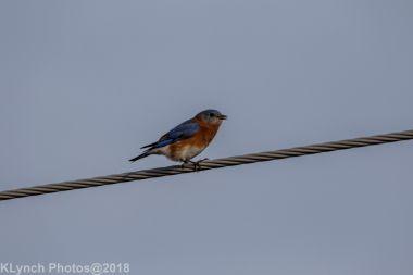 Bluebird_18