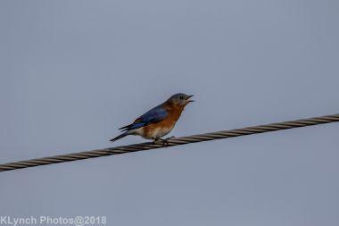 Bluebird_19