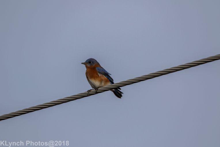 Bluebird_20