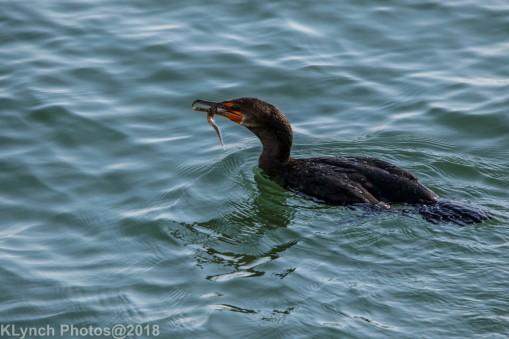 Cormorants_12