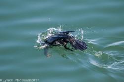 cormorants_13