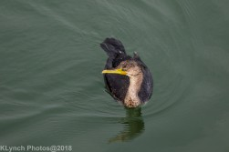 Cormorants_18