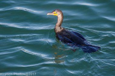 cormorants_19