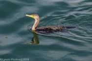Cormorants_25