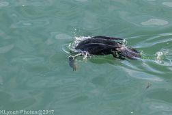 cormorants_5