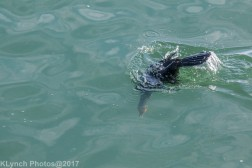 cormorants_6
