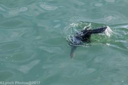 cormorants_6