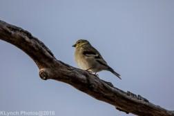 goldfinch_12