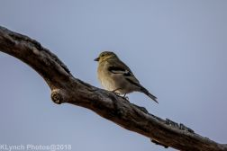goldfinch_12