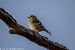 goldfinch_13