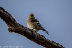 goldfinch_14