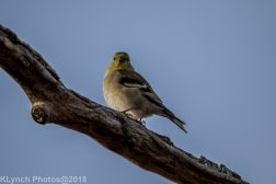 goldfinch_14