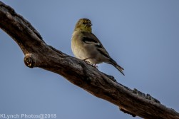 goldfinch_15