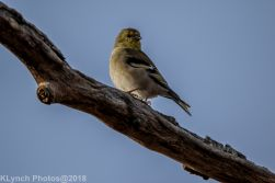 goldfinch_15