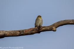goldfinch_17