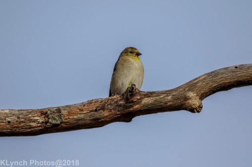 goldfinch_19