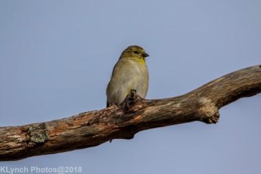 goldfinch_21