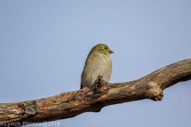 goldfinch_22
