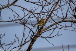 goldfinch_4
