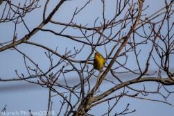 goldfinch_5