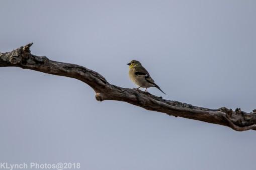 goldfinch_8