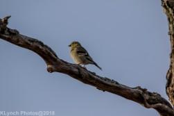 goldfinch_9