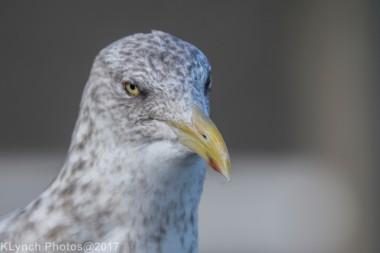 gulls_11