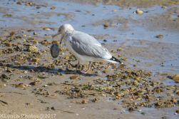 gulls_4