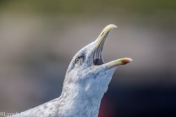 gulls_8