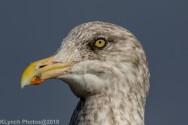 Gulls_9