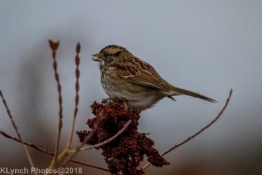 Sparrow_21
