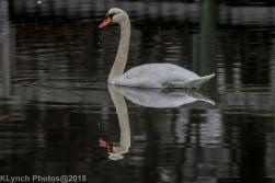 SwansB_1