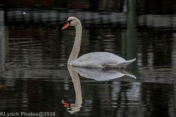 SwansB_2