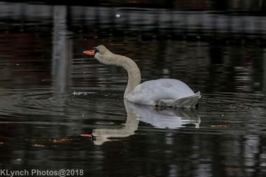 SwansB_4