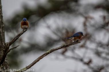 Bluebird_7