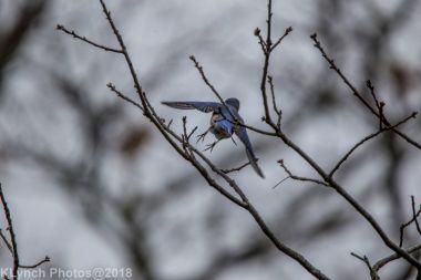 Bluebird_9