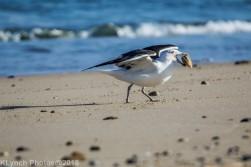 Gull_2